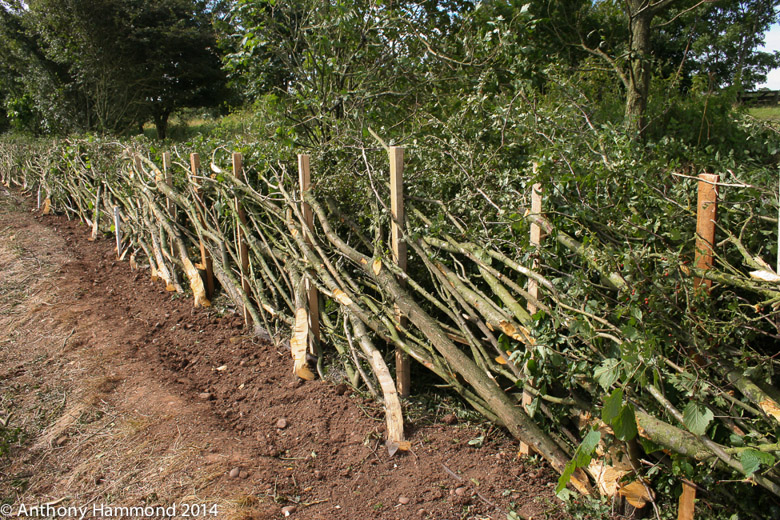086-hedgelaying_2012-2